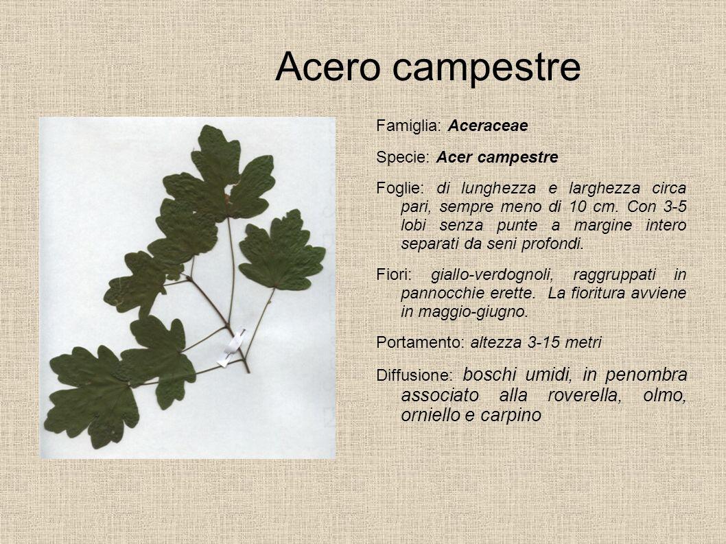 Acero campestre Famiglia: Aceraceae Specie: Acer campestre Foglie: di lunghezza e larghezza circa pari, sempre meno di 10 cm. Con 3-5 lobi senza punte
