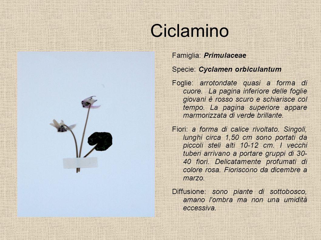 Ciclamino Famiglia: Primulaceae Specie: Cyclamen orbiculantum Foglie: arrotondate quasi a forma di cuore. La pagina inferiore delle foglie giovani è r