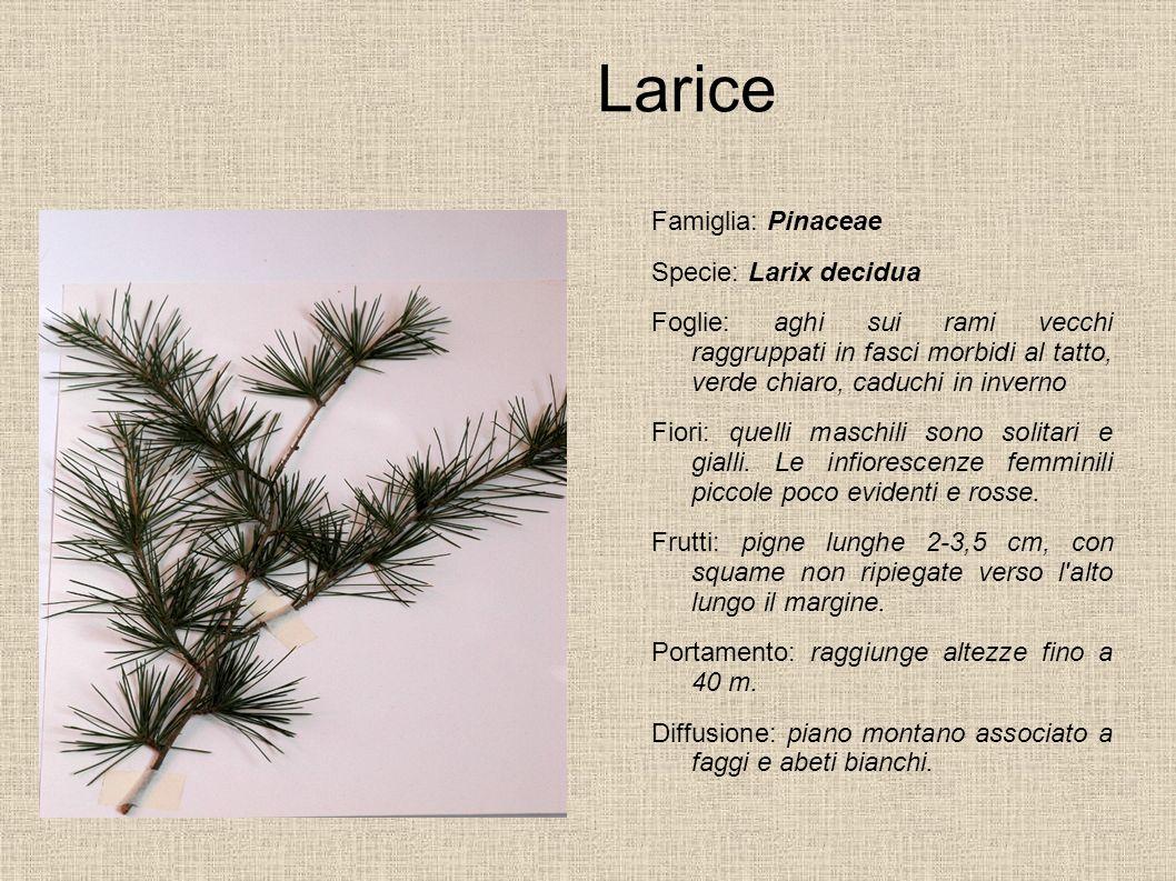 Larice Famiglia: Pinaceae Specie: Larix decidua Foglie: aghi sui rami vecchi raggruppati in fasci morbidi al tatto, verde chiaro, caduchi in inverno F