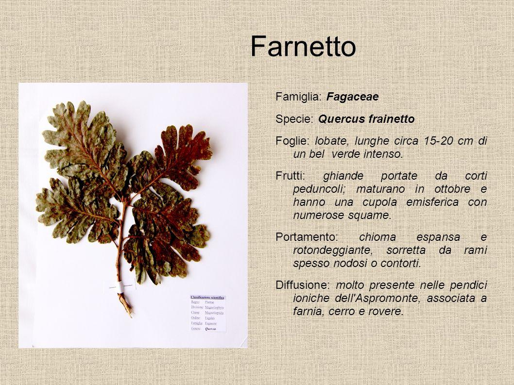 Farnetto Famiglia: Fagaceae Specie: Quercus frainetto Foglie: lobate, lunghe circa 15-20 cm di un bel verde intenso. Frutti: ghiande portate da corti