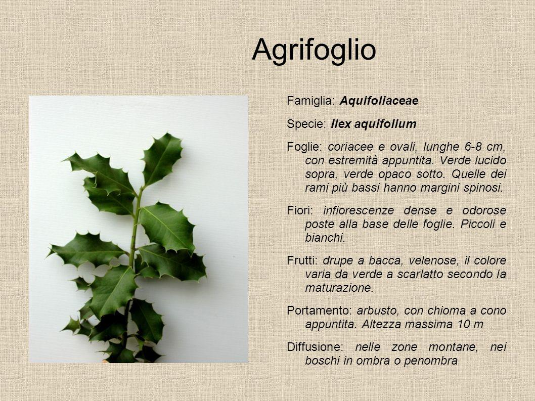 Agrifoglio Famiglia: Aquifoliaceae Specie: Ilex aquifolium Foglie: coriacee e ovali, lunghe 6-8 cm, con estremità appuntita. Verde lucido sopra, verde