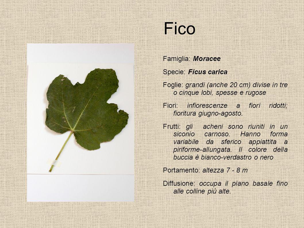 Fico Famiglia: Moracee Specie: Ficus carica Foglie: grandi (anche 20 cm) divise in tre o cinque lobi, spesse e rugose Fiori: infiorescenze a fiori rid