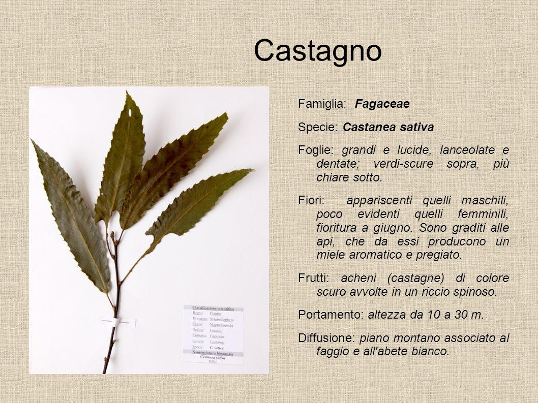 Castagno Famiglia: Fagaceae Specie: Castanea sativa Foglie: grandi e lucide, lanceolate e dentate; verdi-scure sopra, più chiare sotto. Fiori: apparis