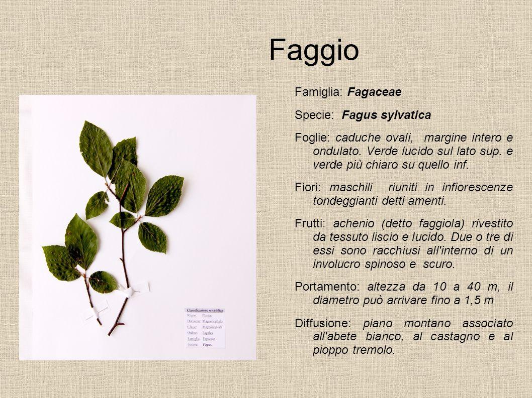 Faggio Famiglia: Fagaceae Specie: Fagus sylvatica Foglie: caduche ovali, margine intero e ondulato. Verde lucido sul lato sup. e verde più chiaro su q