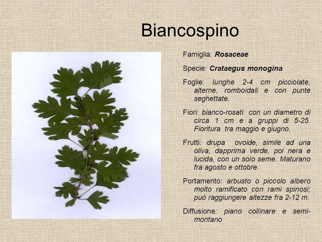 Biancospino Famiglia: Rosaceae Specie: Crataegus monogina Foglie: lunghe 2-4 cm picciolate, alterne, romboidali e con punte seghettate. Fiori: bianco-