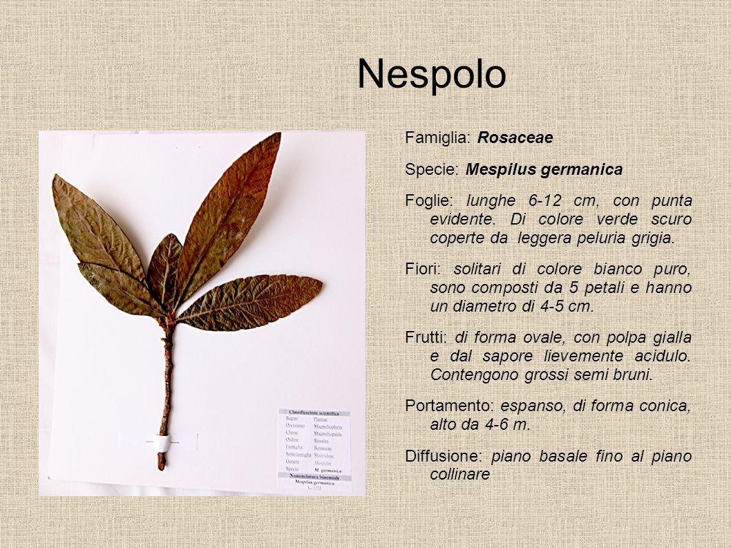 Nespolo Famiglia: Rosaceae Specie: Mespilus germanica Foglie: lunghe 6-12 cm, con punta evidente. Di colore verde scuro coperte da leggera peluria gri