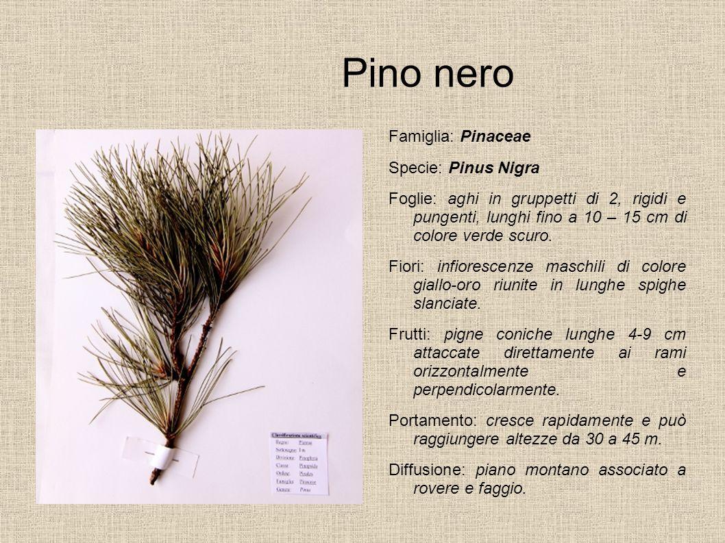 Pino nero Famiglia: Pinaceae Specie: Pinus Nigra Foglie: aghi in gruppetti di 2, rigidi e pungenti, lunghi fino a 10 – 15 cm di colore verde scuro. Fi
