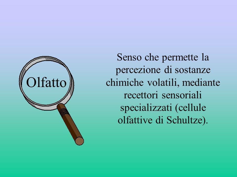 Olfatto Senso che permette la percezione di sostanze chimiche volatili, mediante recettori sensoriali specializzati (cellule olfattive di Schultze).