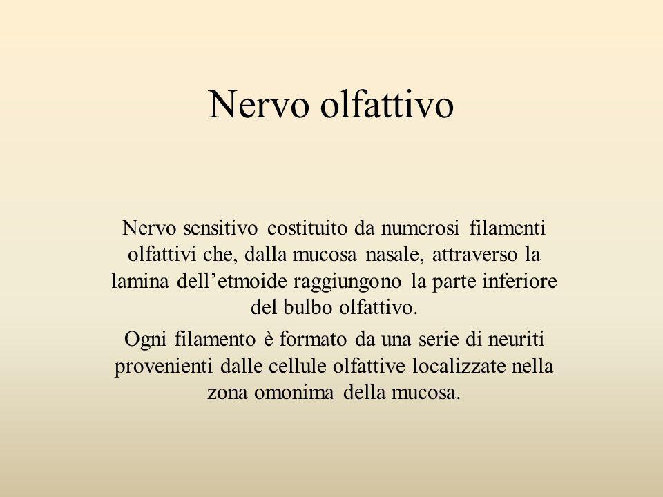 Nervo olfattivo Nervo sensitivo costituito da numerosi filamenti olfattivi che, dalla mucosa nasale, attraverso la lamina delletmoide raggiungono la p