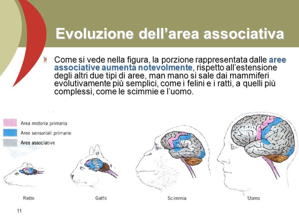 11 Evoluzione dellarea associativa Come si vede nella figura, la porzione rappresentata dalle aree associative aumenta notevolmente, rispetto allesten