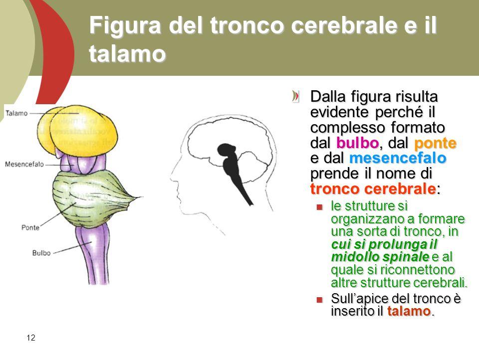 12 Figura del tronco cerebrale e il talamo Dalla figura risulta evidente perché il complesso formato dal bulbo, dal ponte e dal mesencefalo prende il