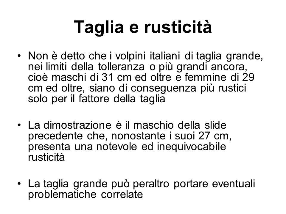 Taglia e rusticità Non è detto che i volpini italiani di taglia grande, nei limiti della tolleranza o più grandi ancora, cioè maschi di 31 cm ed oltre