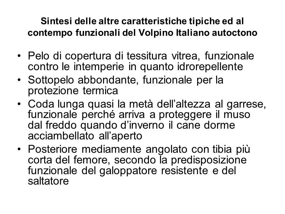 Sintesi delle altre caratteristiche tipiche ed al contempo funzionali del Volpino Italiano autoctono Pelo di copertura di tessitura vitrea, funzionale