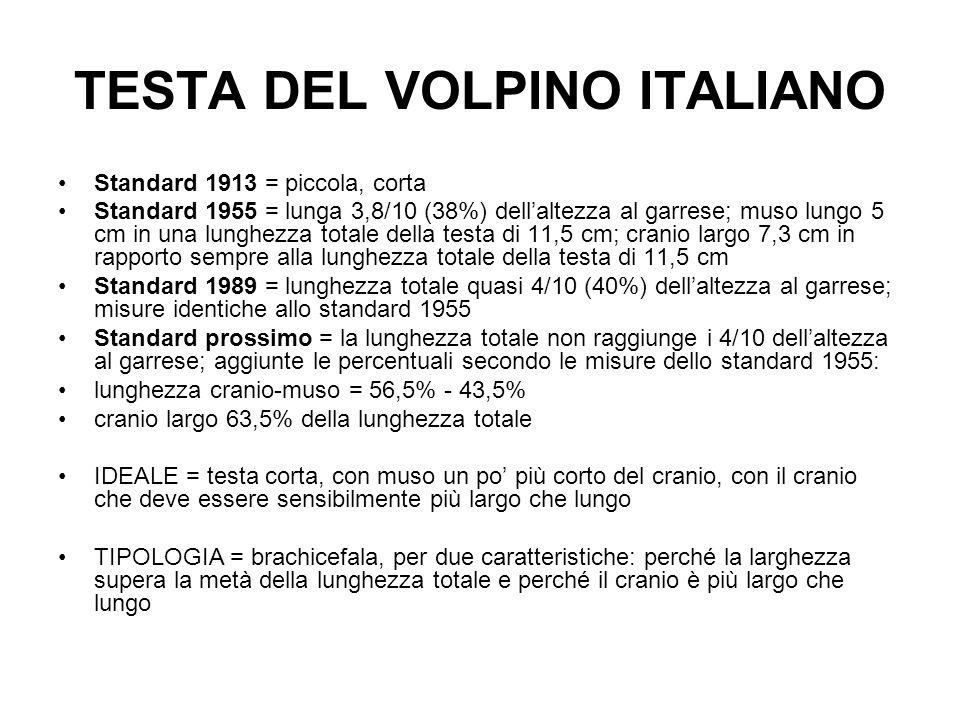TESTA DEL VOLPINO ITALIANO Standard 1913 = piccola, corta Standard 1955 = lunga 3,8/10 (38%) dellaltezza al garrese; muso lungo 5 cm in una lunghezza