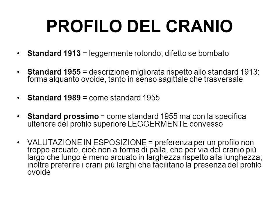 PROFILO DEL CRANIO Standard 1913 = leggermente rotondo; difetto se bombato Standard 1955 = descrizione migliorata rispetto allo standard 1913: forma a