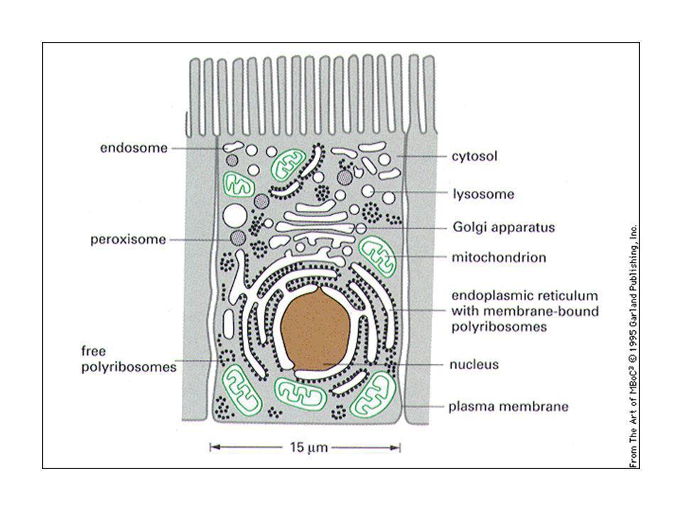 Relazioni topologiche tra i compartimenti cellulari.
