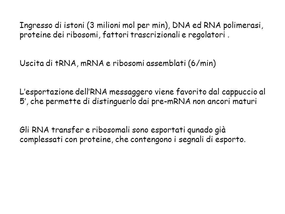 Ingresso di istoni (3 milioni mol per min), DNA ed RNA polimerasi, proteine dei ribosomi, fattori trascrizionali e regolatori. Uscita di tRNA, mRNA e