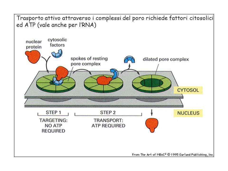 Trasporto attivo attraverso i complessi del poro richiede fattori citosolici ed ATP (vale anche per lRNA)