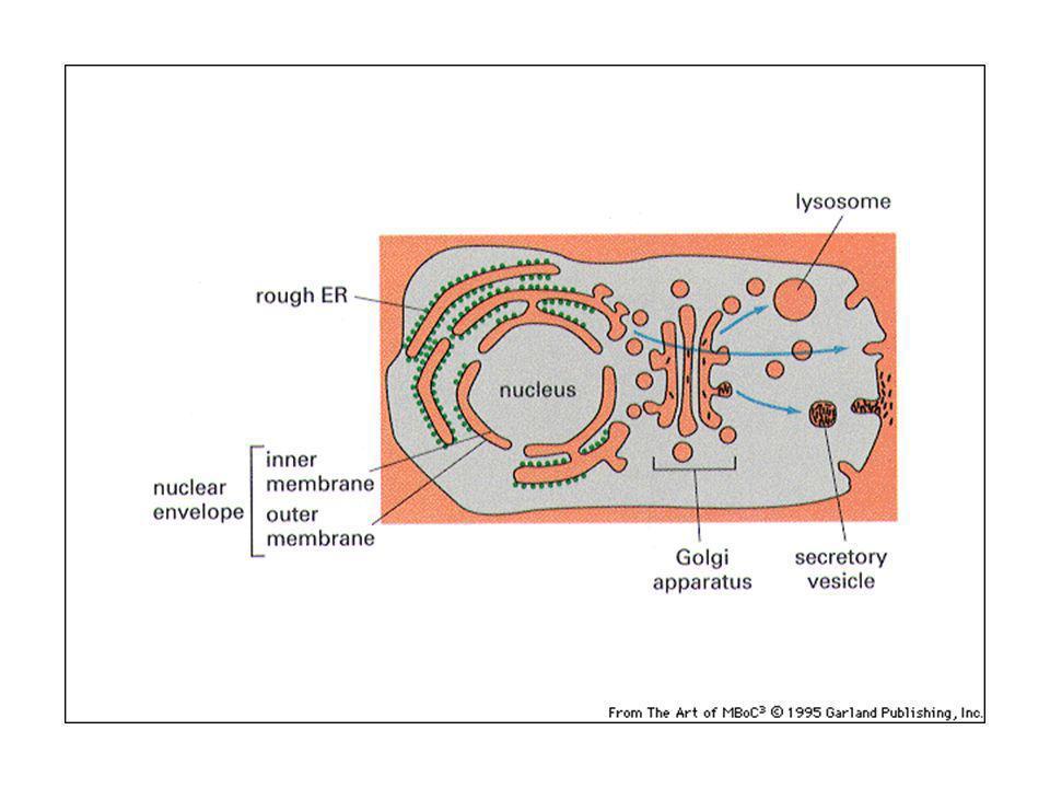 Reticolo endoplasmatico: forma il 50% delle membrane e con il suo lume o cisterna il 10% del volume.