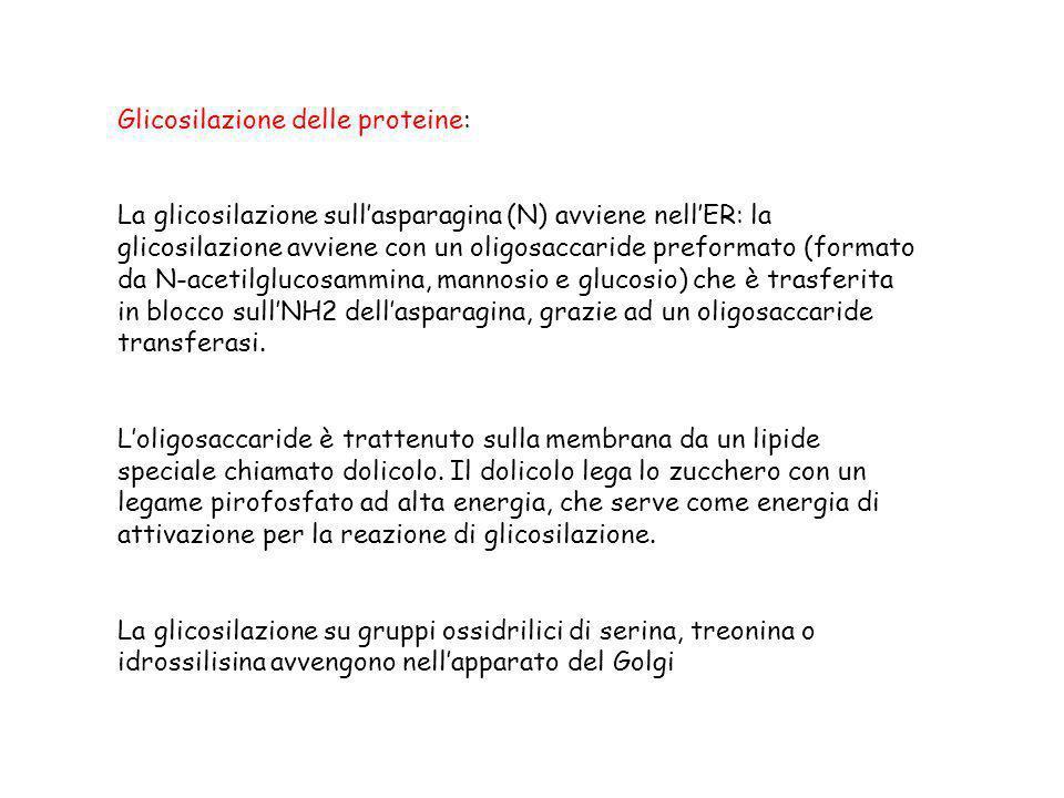 Glicosilazione delle proteine: La glicosilazione sullasparagina (N) avviene nellER: la glicosilazione avviene con un oligosaccaride preformato (format
