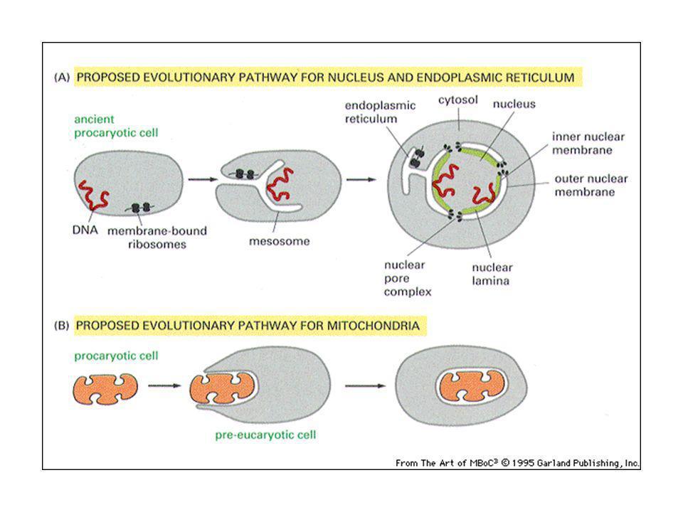 Le proteine iniziano ad essere sintetizzate sui ribosomi nel citosol.