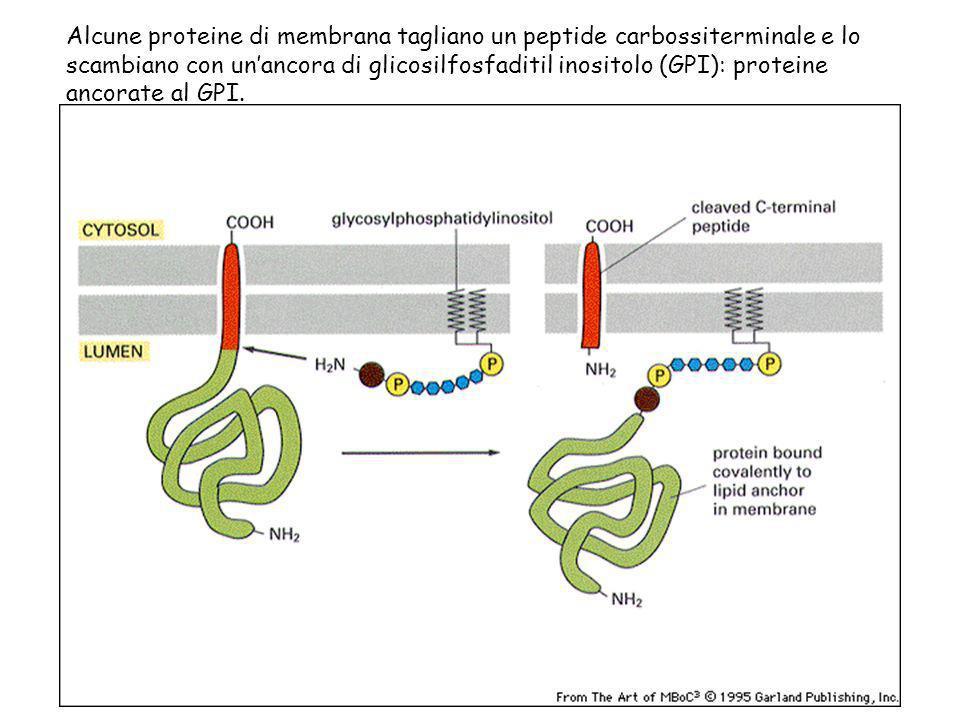 Alcune proteine di membrana tagliano un peptide carbossiterminale e lo scambiano con unancora di glicosilfosfaditil inositolo (GPI): proteine ancorate