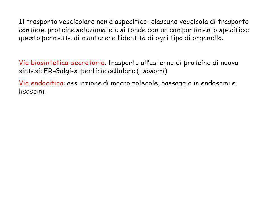 Il trasporto vescicolare non è aspecifico: ciascuna vescicola di trasporto contiene proteine selezionate e si fonde con un compartimento specifico: qu