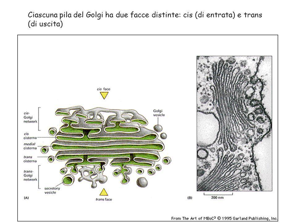 Ciascuna pila del Golgi ha due facce distinte: cis (di entrata) e trans (di uscita)
