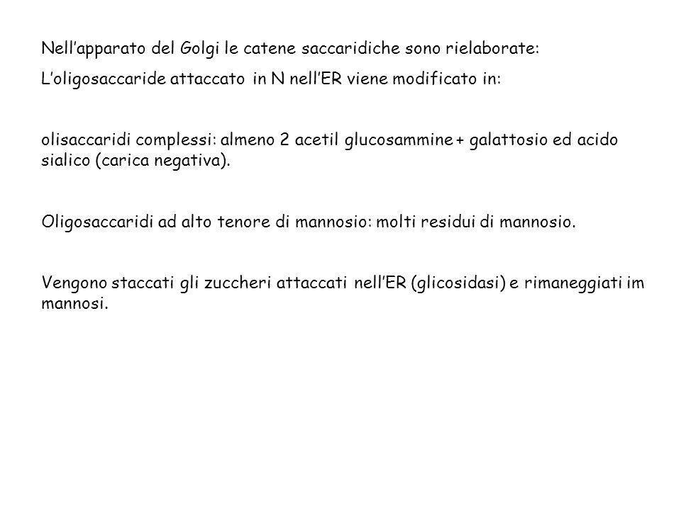 Nellapparato del Golgi le catene saccaridiche sono rielaborate: Loligosaccaride attaccato in N nellER viene modificato in: olisaccaridi complessi: alm