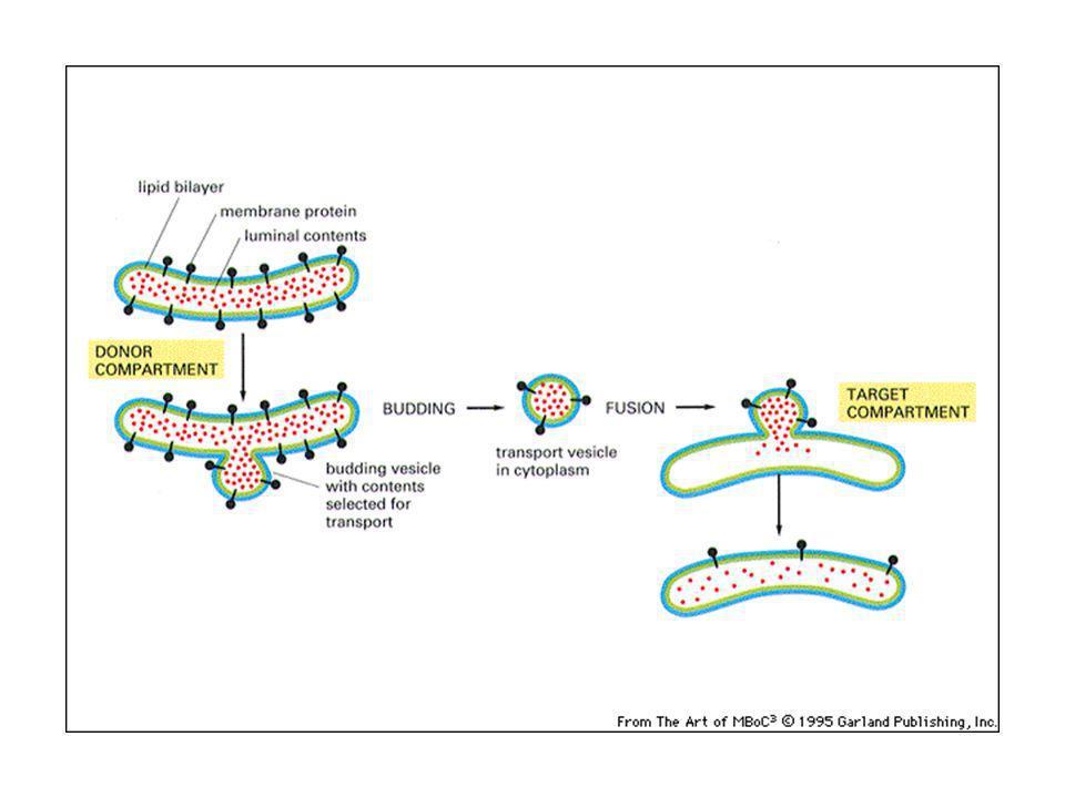SRP: regione 1) lega il ribosoma e ferma la sintesi proteica; 2) lega il peptide segnale; 3) lega il recettore della SRP sulla membrana dellER.