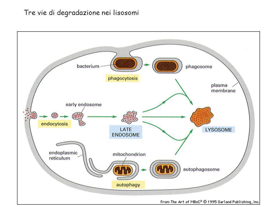 Tre vie di degradazione nei lisosomi