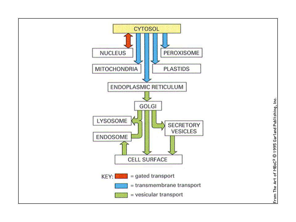 Traslocazione nellER delle proteine di secrezione o di membrana La particella di riconoscimento del segnale (SRP) fa la spola fra la membrana dellER e il citosol.