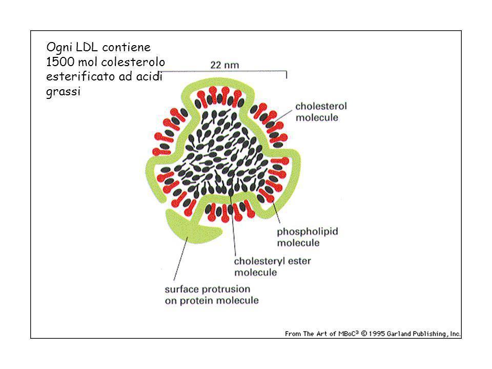 Ogni LDL contiene 1500 mol colesterolo esterificato ad acidi grassi