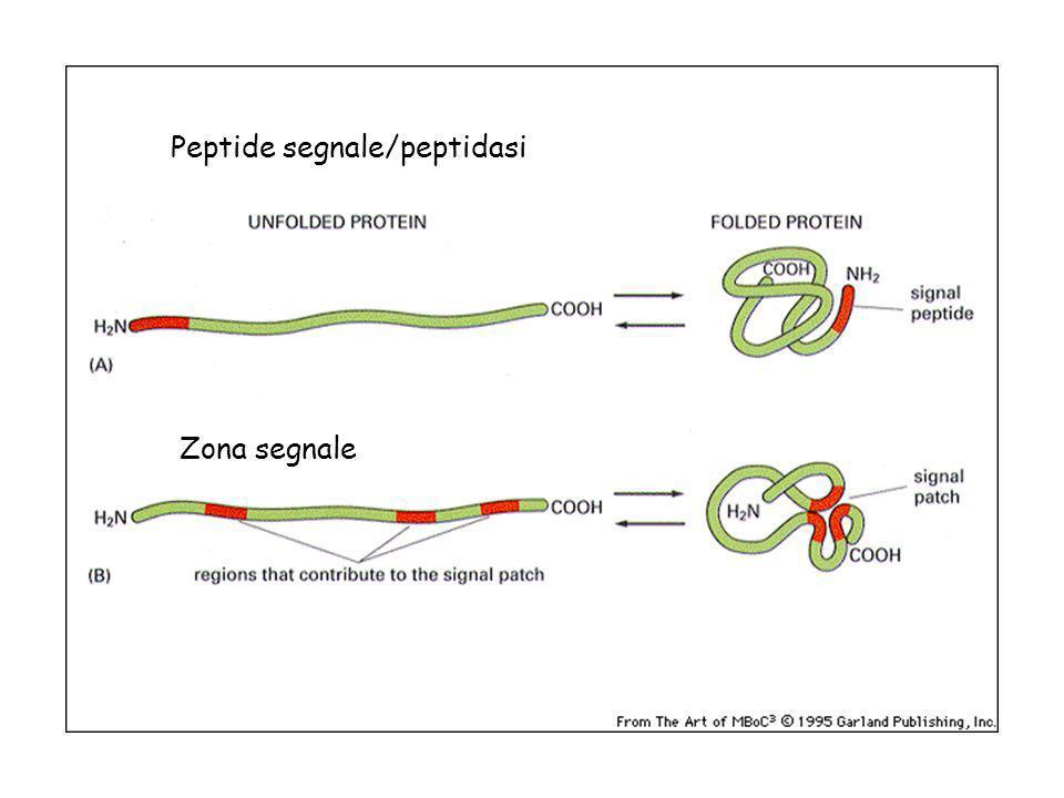 ER: segnale di 5-10 aa idrofobici Se trattenute nellER altri 4 aa nella zona carbossiterminale.