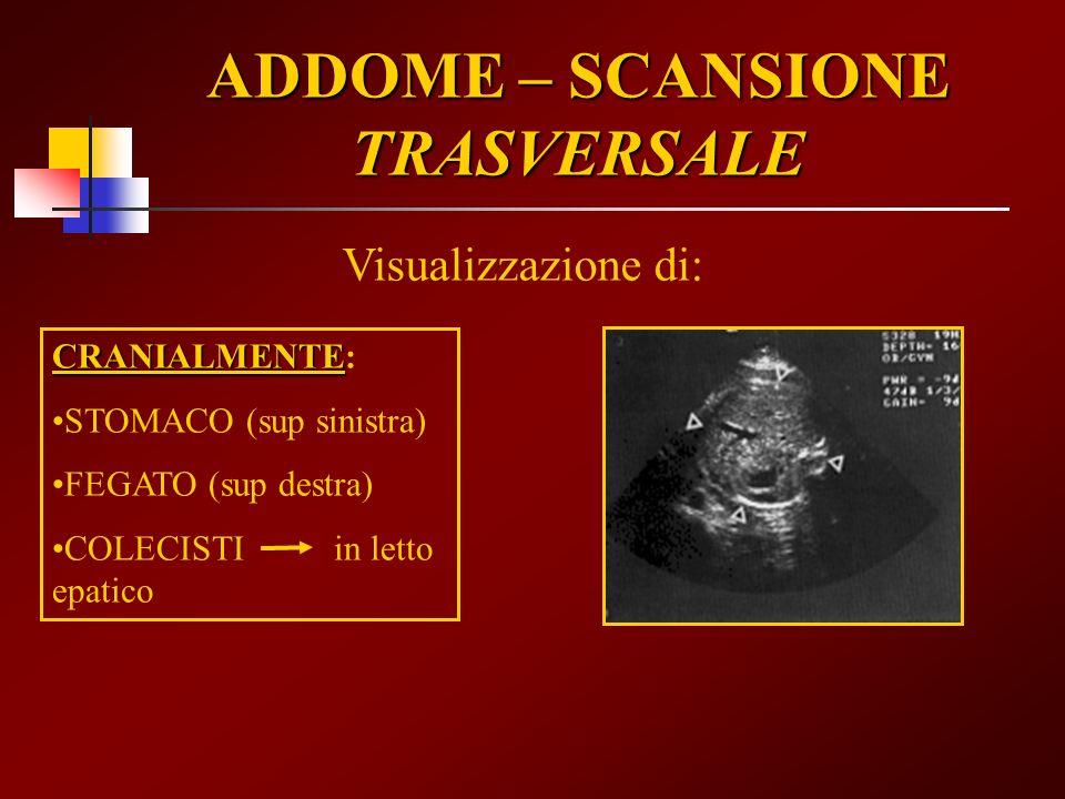 ADDOME – SCANSIONE TRASVERSALE Visualizzazione di: CRANIALMENTE CRANIALMENTE: STOMACO (sup sinistra) FEGATO (sup destra) COLECISTI in letto epatico