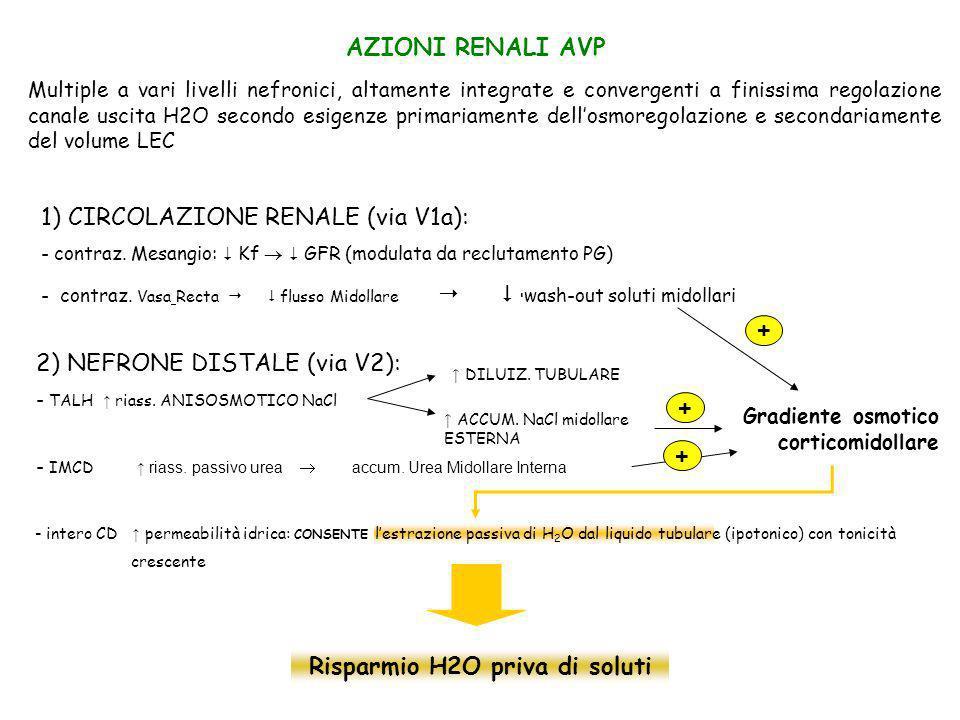 AZIONI RENALI AVP Multiple a vari livelli nefronici, altamente integrate e convergenti a finissima regolazione canale uscita H2O secondo esigenze prim