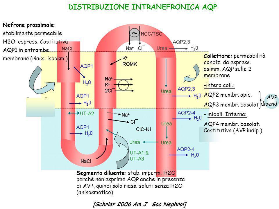 DISTRIBUZIONE INTRANEFRONICA AQP Collettore: permeabilità condiz. da espress. asimm. AQP sulle 2 membrane -intero coll.: AQP2 membr. apic. AQP3 membr.