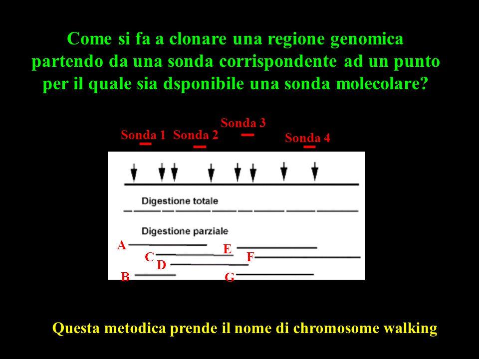 A B C D F E G Gene Sonda 1Sonda 2 Sonda 3 Sonda 4 Questa metodica prende il nome di chromosome walking Come si fa a clonare una regione genomica partendo da una sonda corrispondente ad un punto per il quale sia dsponibile una sonda molecolare?