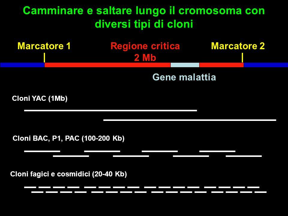 Camminare e saltare lungo il cromosoma con diversi tipi di cloni Marcatore 1Marcatore 2Regione critica 2 Mb Gene malattia Cloni YAC (1Mb) Cloni BAC, P1, PAC (100-200 Kb) Cloni fagici e cosmidici (20-40 Kb)