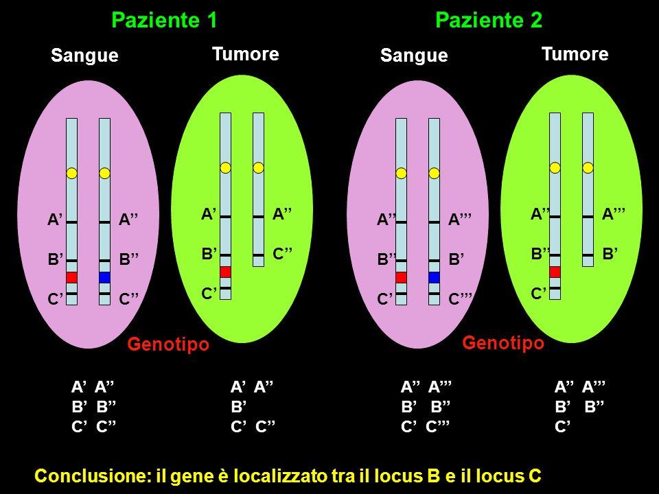 ABCABC ACAC ABCABC ABCABC ABCABC ABAB ABCABC ABCABC Sangue Tumore Sangue Tumore Paziente 1Paziente 2 Genotipo A B C A B C A B C A B C Conclusione: il gene è localizzato tra il locus B e il locus C