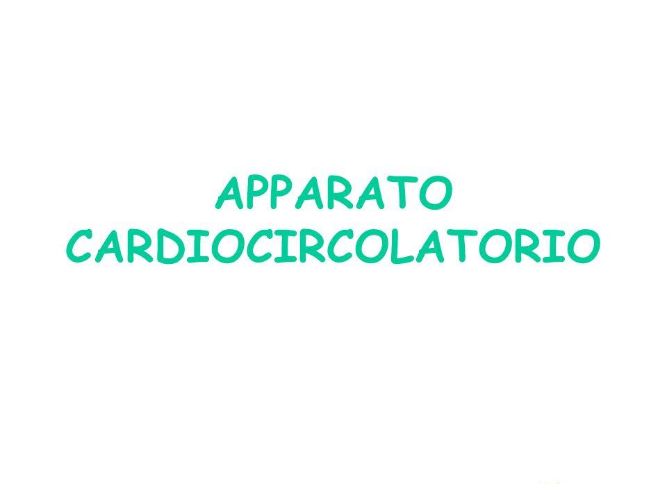 IL CUORE Il cuore è un potente muscolo, grosso quanto un pugno, situato nella gabbia toracica tra i due polmoni