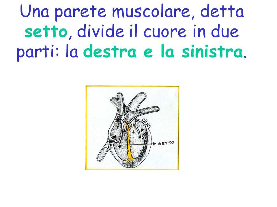 Una parete muscolare, detta setto, divide il cuore in due parti: la destra e la sinistra.
