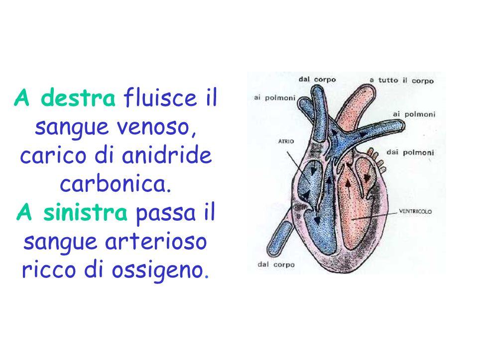 A destra fluisce il sangue venoso, carico di anidride carbonica. A sinistra passa il sangue arterioso ricco di ossigeno.