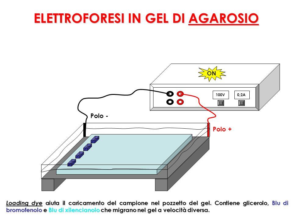 100V0,2A Polo + Polo - ON Loading dye aiuta il caricamento del campione nel pozzetto del gel.