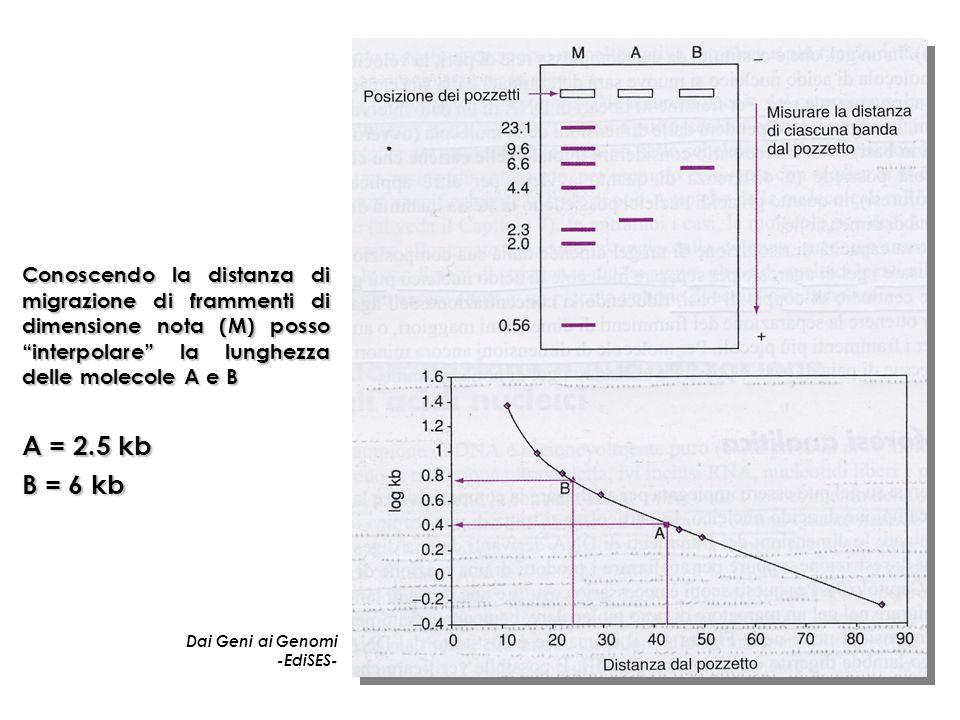 Conoscendo la distanza di migrazione di frammenti di dimensione nota (M) posso interpolare la lunghezza delle molecole A e B Dai Geni ai Genomi -EdiSES- A = 2.5 kb B = 6 kb