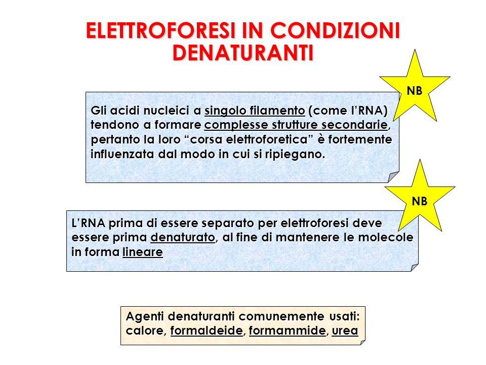 Gli acidi nucleici a singolo filamento (come lRNA) tendono a formare complesse strutture secondarie, pertanto la loro corsa elettroforetica è fortemente influenzata dal modo in cui si ripiegano.