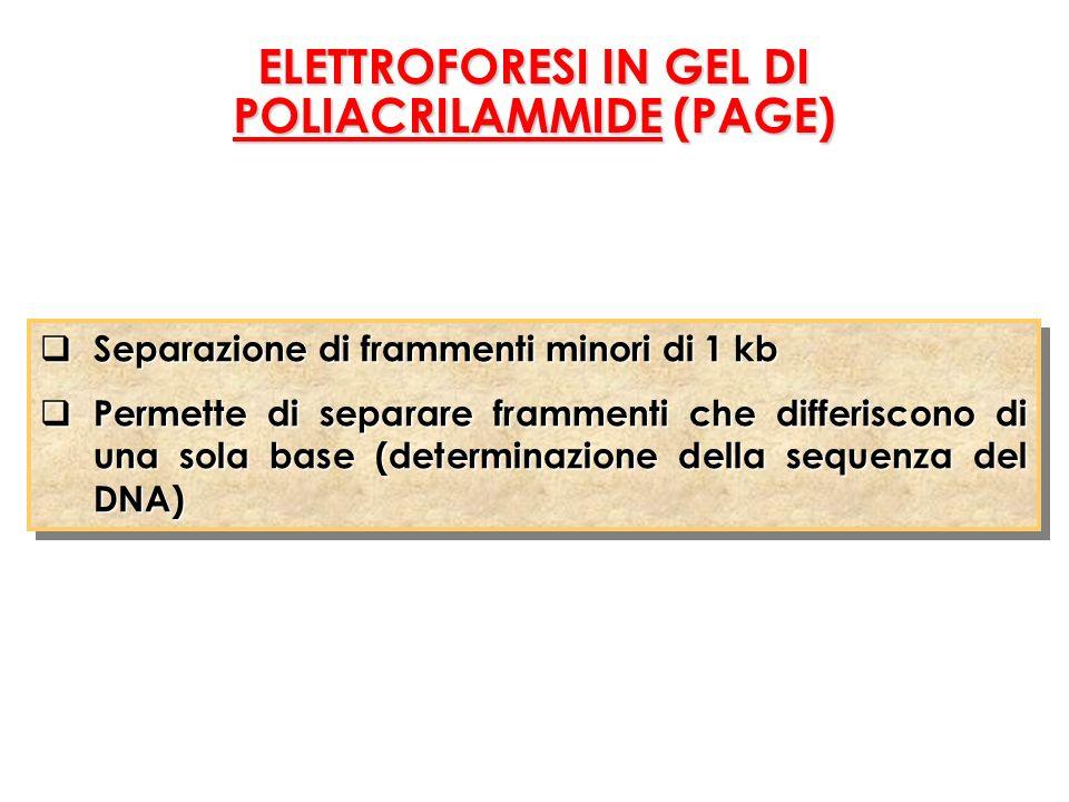Separazione di frammenti minori di 1 kb Separazione di frammenti minori di 1 kb Permette di separare frammenti che differiscono di una sola base (determinazione della sequenza del DNA) Permette di separare frammenti che differiscono di una sola base (determinazione della sequenza del DNA) Separazione di frammenti minori di 1 kb Separazione di frammenti minori di 1 kb Permette di separare frammenti che differiscono di una sola base (determinazione della sequenza del DNA) Permette di separare frammenti che differiscono di una sola base (determinazione della sequenza del DNA) ELETTROFORESI IN GEL DI POLIACRILAMMIDE (PAGE)