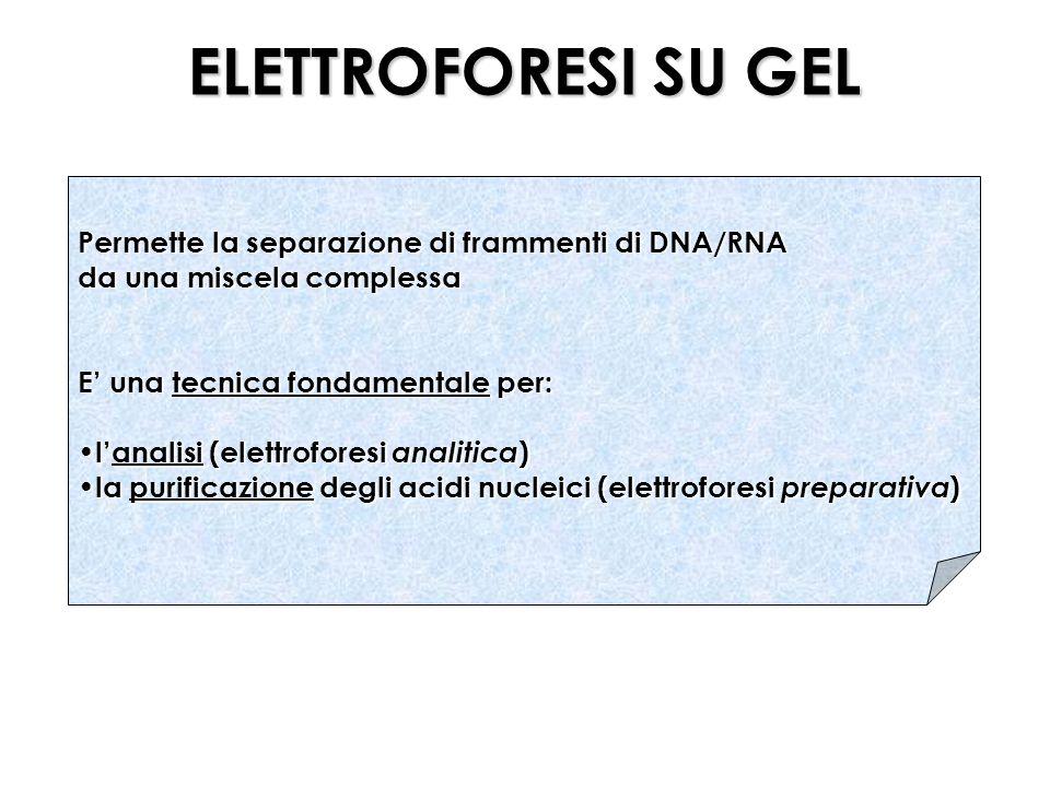ELETTROFORESI SU GEL Permette la separazione di frammenti di DNA/RNA da una miscela complessa E una tecnica fondamentale per: lanalisi (elettroforesi analitica ) lanalisi (elettroforesi analitica ) la purificazione degli acidi nucleici (elettroforesi preparativa ) la purificazione degli acidi nucleici (elettroforesi preparativa )