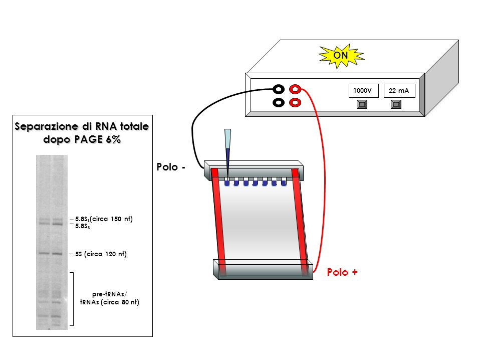 1000V22 mA ON Polo + Polo - 5.8S L (circa 150 nt) 5S (circa 120 nt) pre-tRNAs/ tRNAs (circa 80 nt) 5.8S S Separazione di RNA totale dopo PAGE 6%