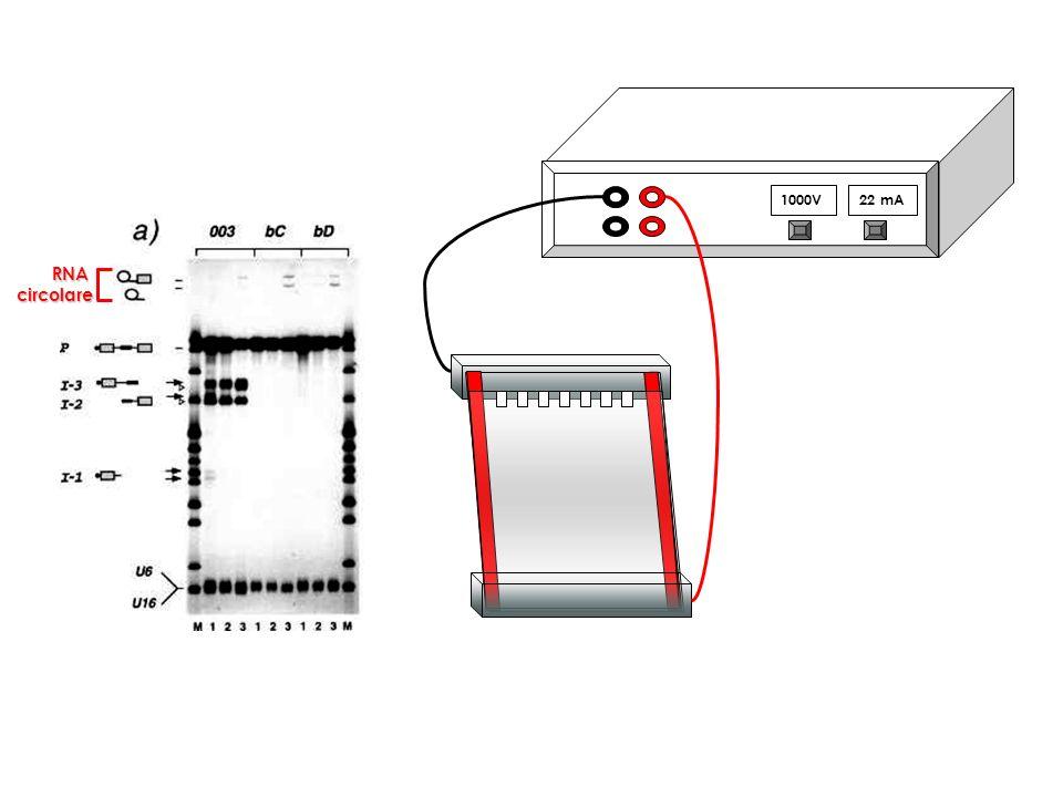 1000V22 mA RNAcircolare